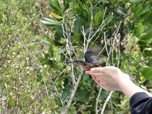 20130920_カワセミ放鳥.jpg